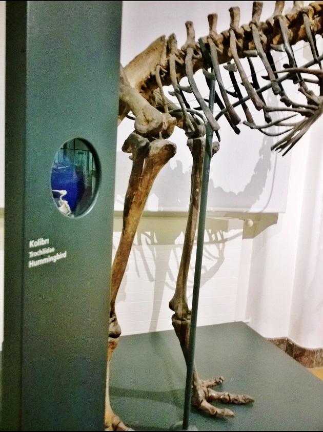 Kolibri versus Riesenvogel Museum König